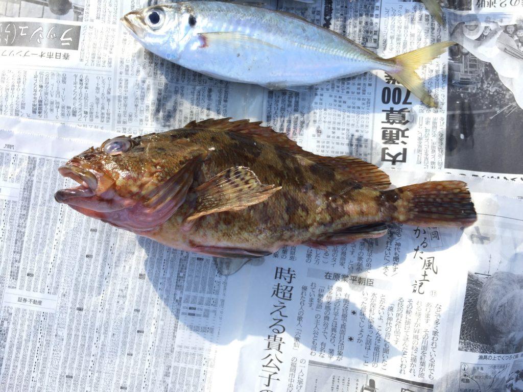 釣果のアラカブ(カサゴ)